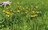 Hund in der Blumenwiese