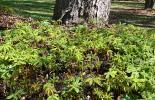 Junge Kastanienbäume