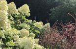 Hortensien und Gräser