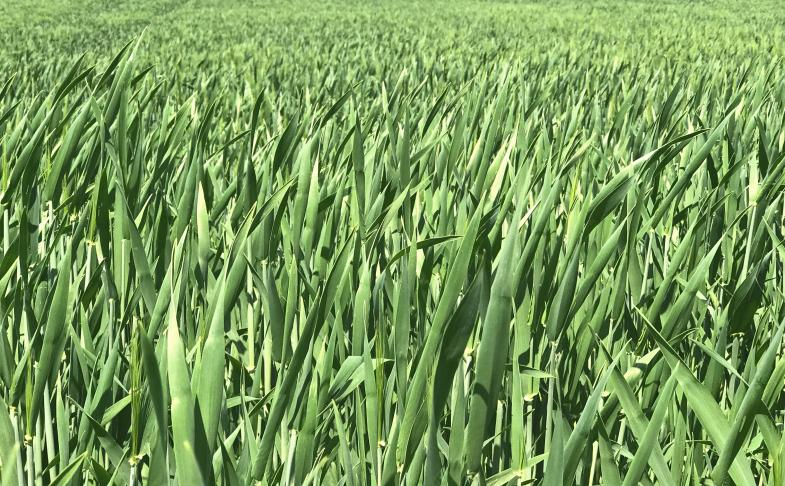 Grünes Getreidefeld