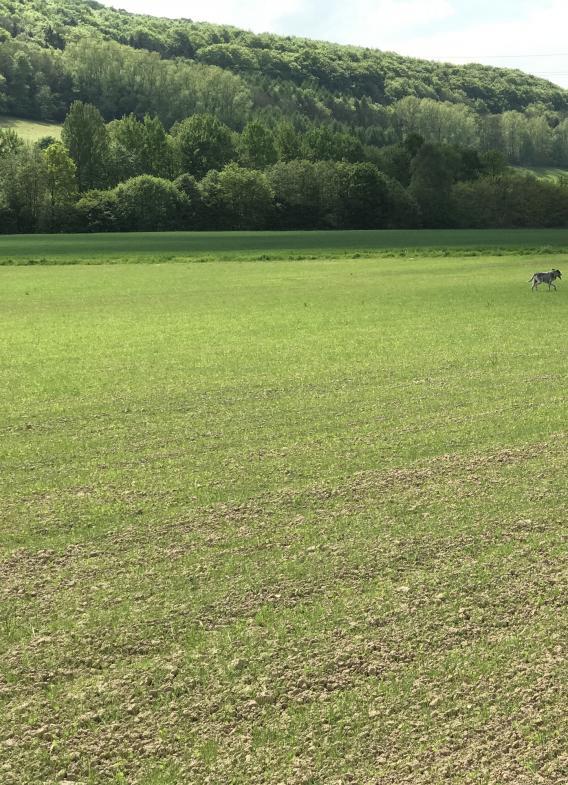 Hund läuft über Feld