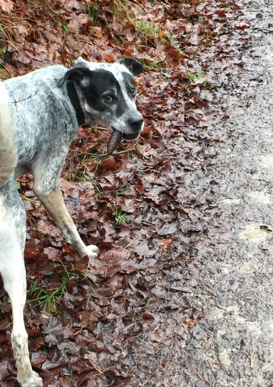 Hund mit Tannenzapfen in der Schnauze