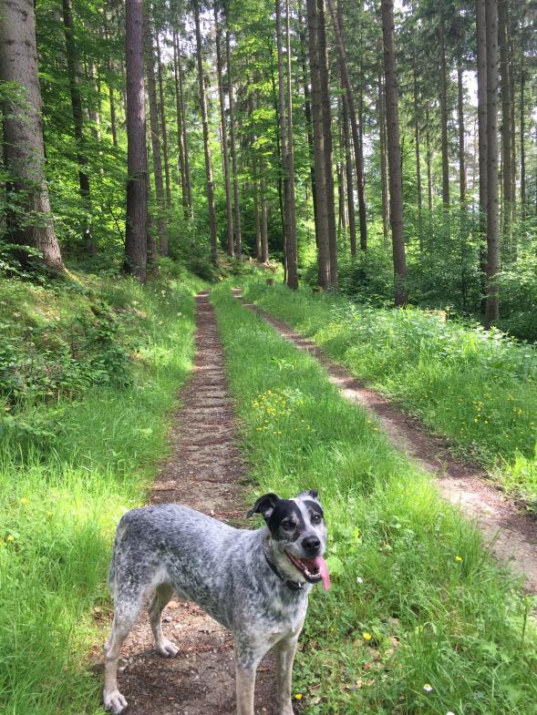 Der Hund des Autors im Frühlingswald