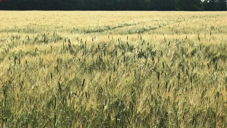 Zwei Sorten Getreide auf einem Feld