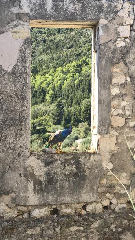 Ein Pfau in einer Ruine