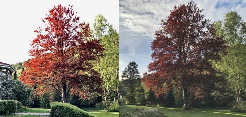 Zwei Bilder einer Rotbuche bei wechselndem Licht