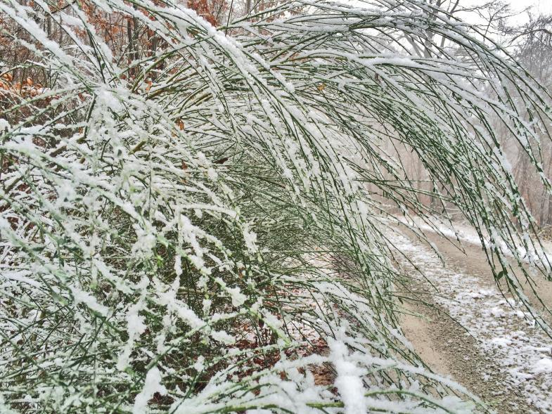 Strauchgewächs biegt sich vom Schnee