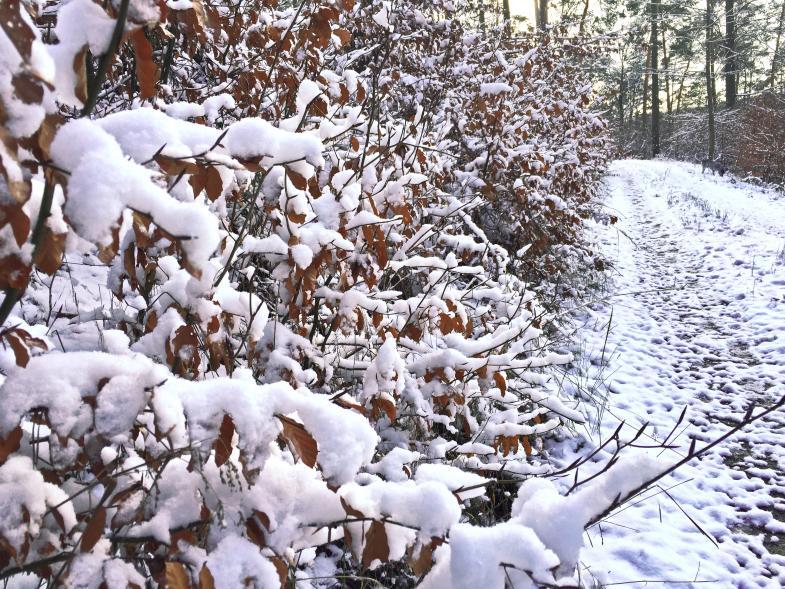 Schnee auf den Blättern am Wegesrand