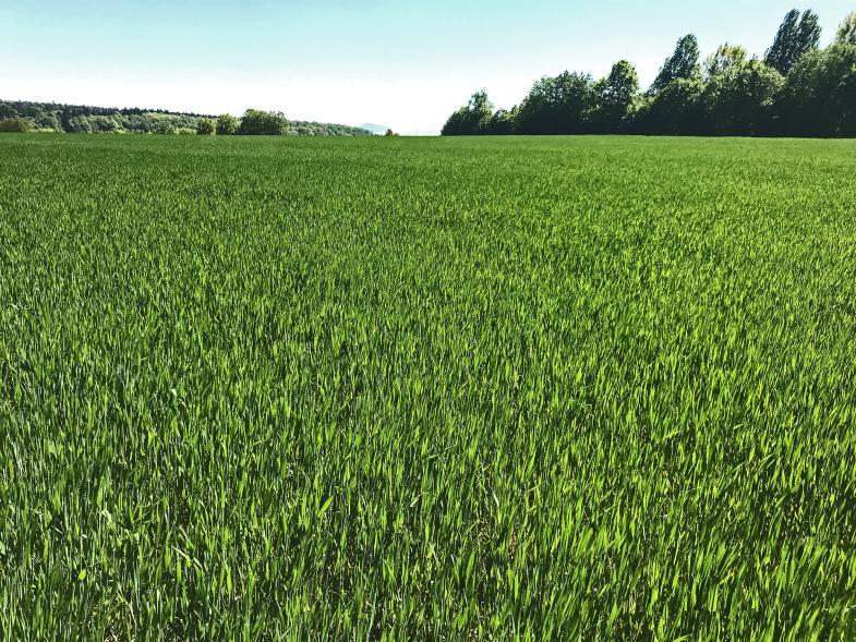Getreidefeld in Dunkelgrün