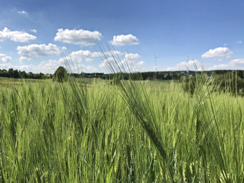 Weizenfeld vor Horizont
