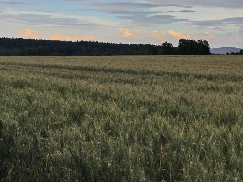 Wölkchen über Getreidefeld